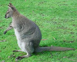 258px-red-necked-wallaby.jpg
