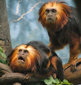 310px-golden-headed-lion-tamarins.jpg